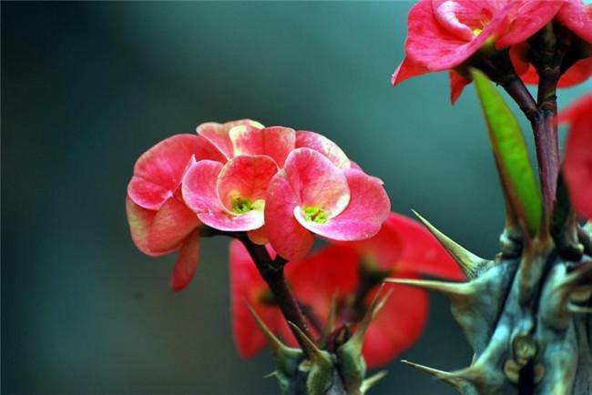 红花虎刺梅