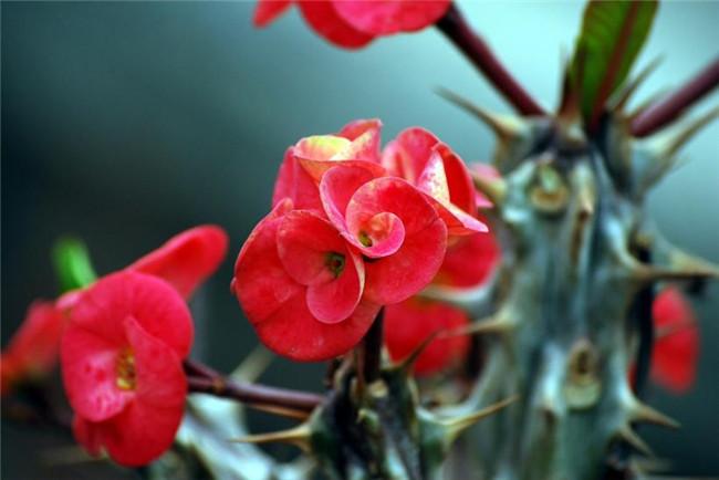 虎刺梅粉嫩的小花蕾
