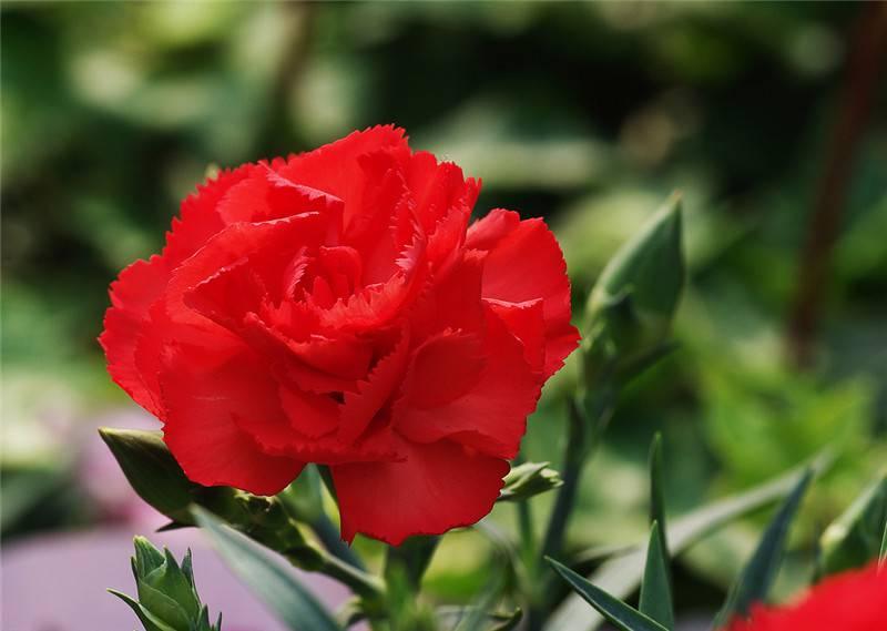 红色康乃馨