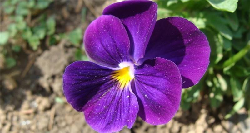 紫罗兰图片欣赏