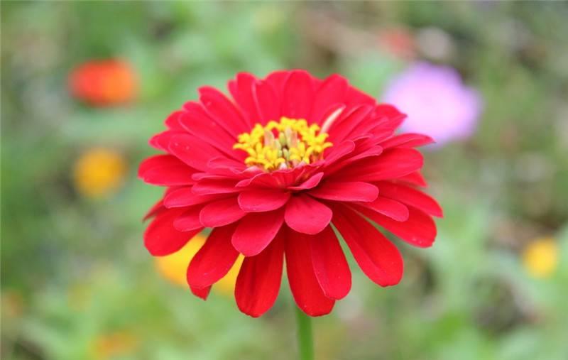 一盏金菊——金盏菊