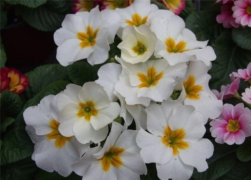 白色报春花