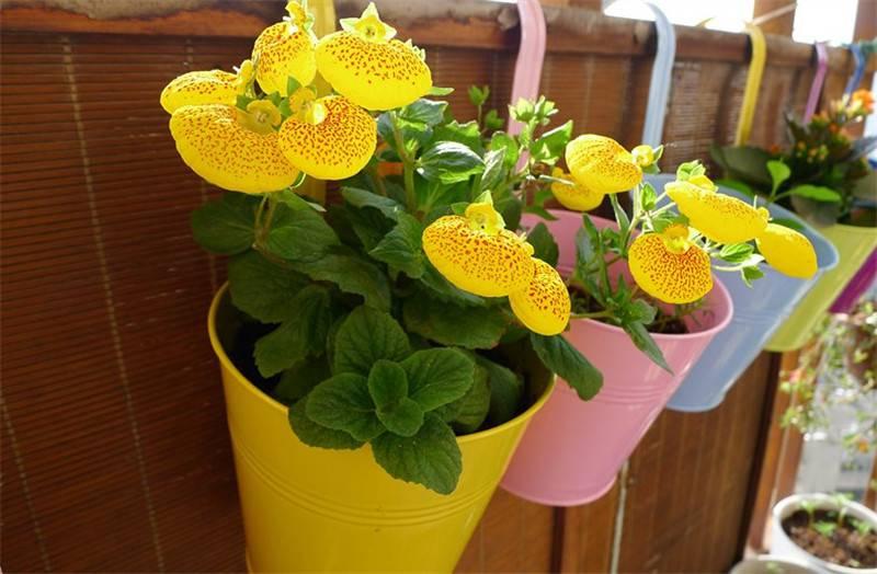 小小荷包——蒲包花
