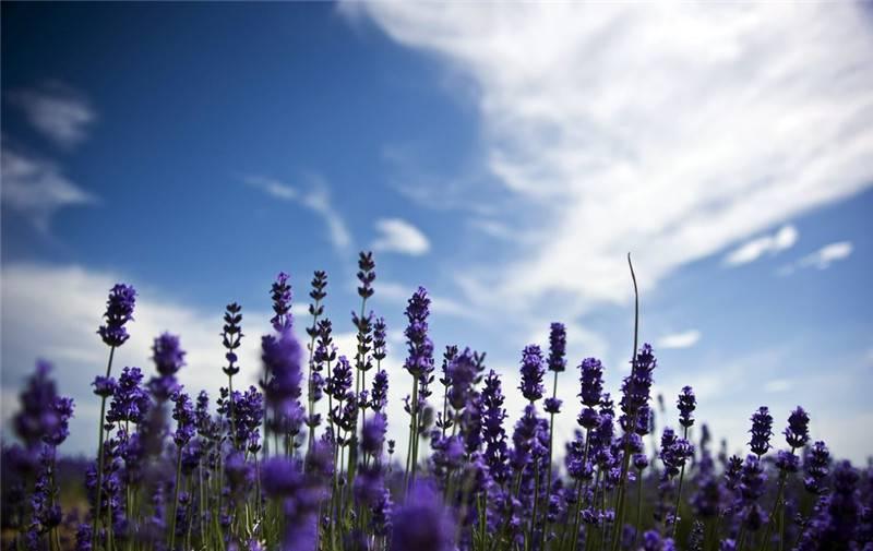薰衣草和天空