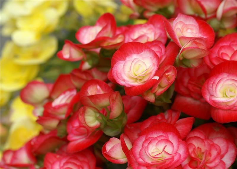 四季海棠美图