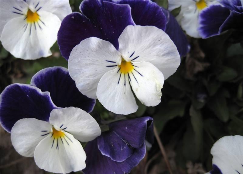 几朵蝴蝶花