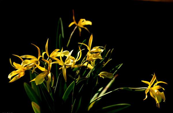 浅黄色兰花