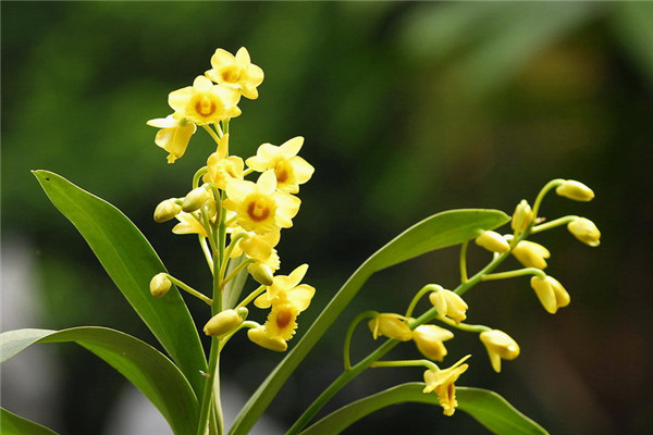 父亲节之花——石斛兰