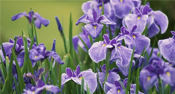 蝴蝶兰——水瓶和射手的星座之花