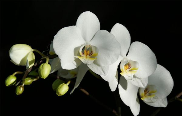 白花蝴蝶兰
