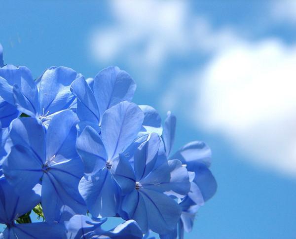 蓝天下的蓝花丹