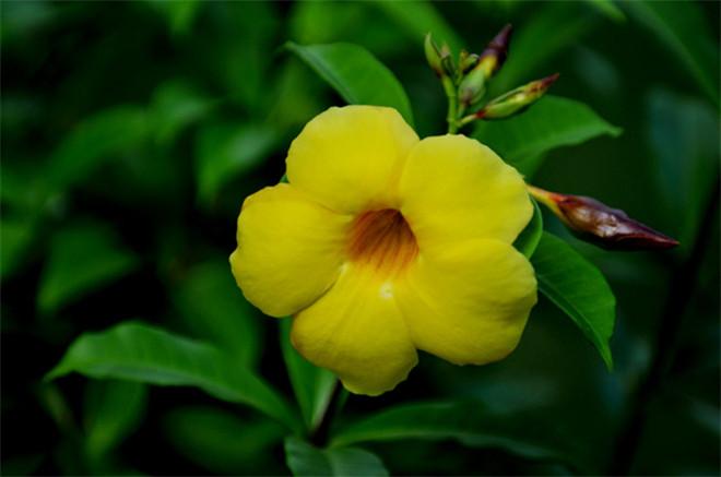 明艳靓丽的黄蝉