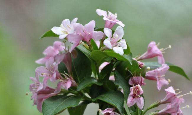 粉色锦带花