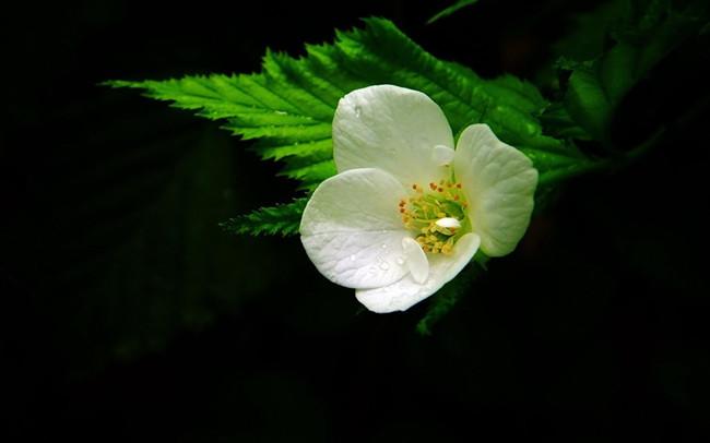 白色棣棠花