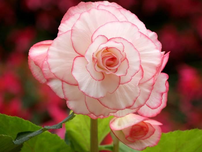 海棠之冠——球根海棠