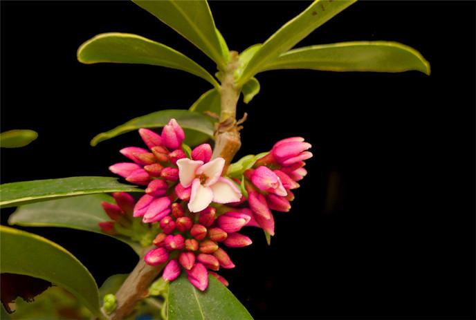中国传统名花——金边瑞香