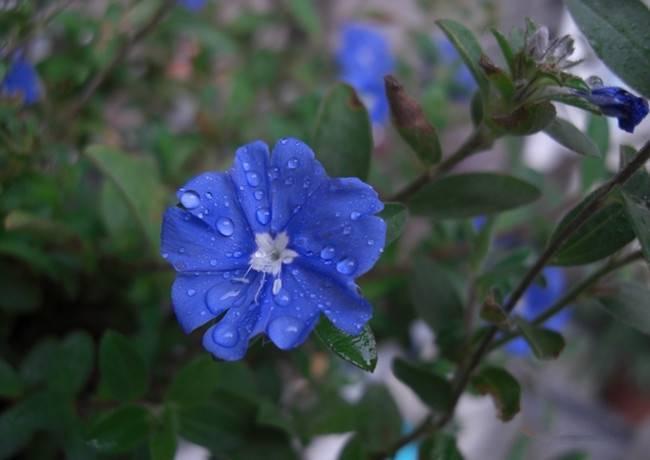 雨中蓝星花