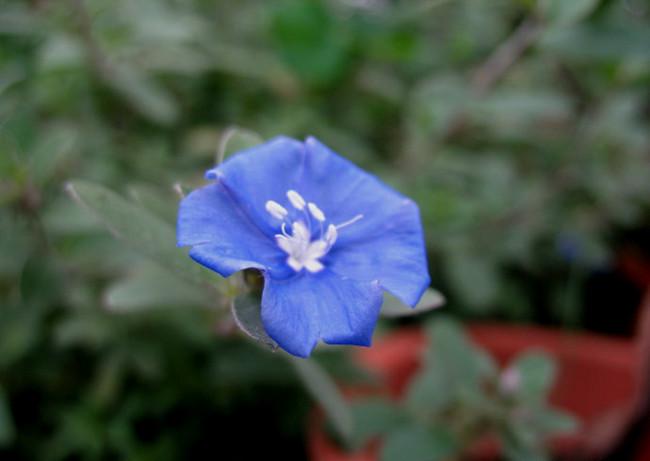 小小蓝星花