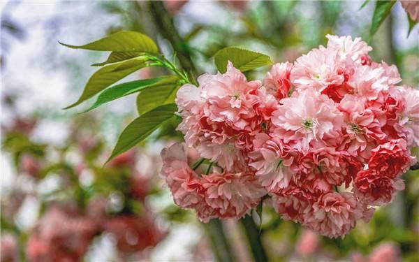 樱花硕大如花球