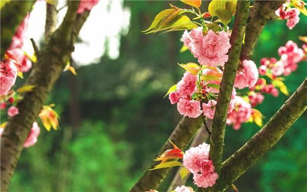 挂满樱花的枝头