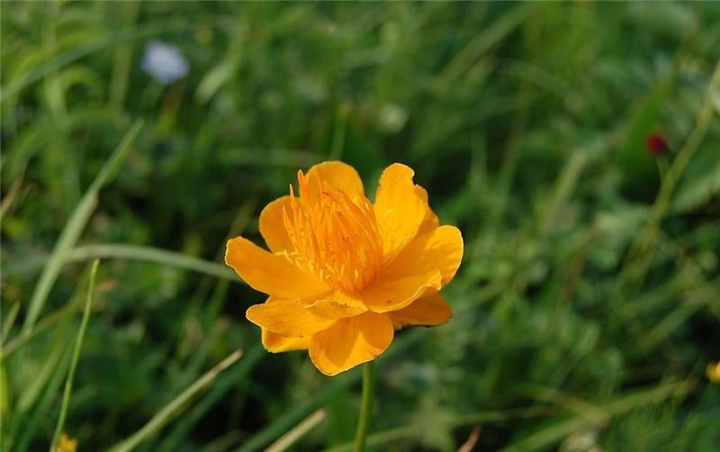 一朵金莲花