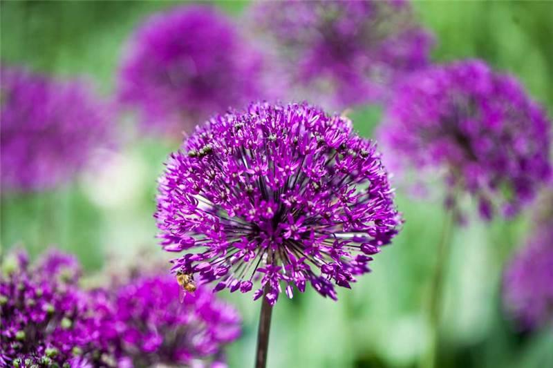 紫色的硕葱
