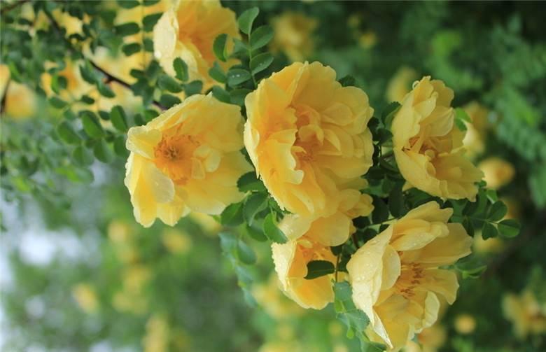 可爱的黄刺玫