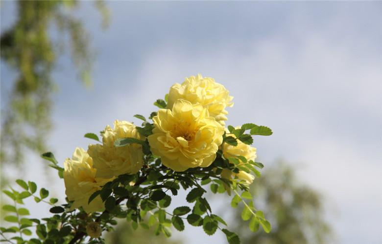 黄刺玫美图