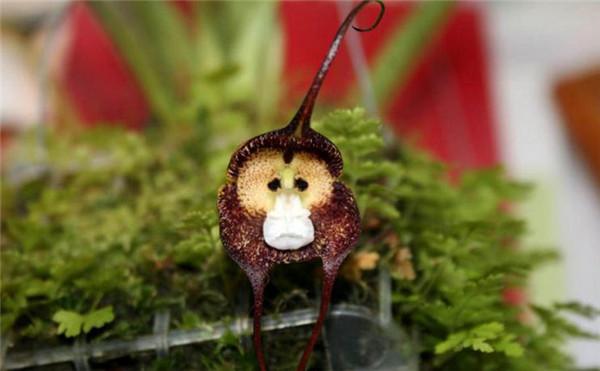猴面小龙兰:郁闷猴