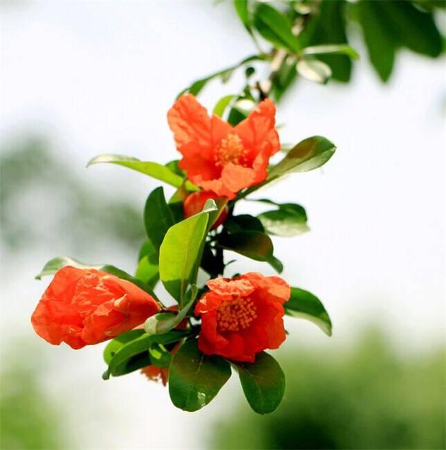 石榴花花语
