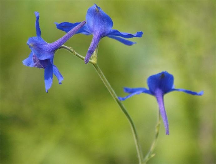 飞翔的蓝雀花