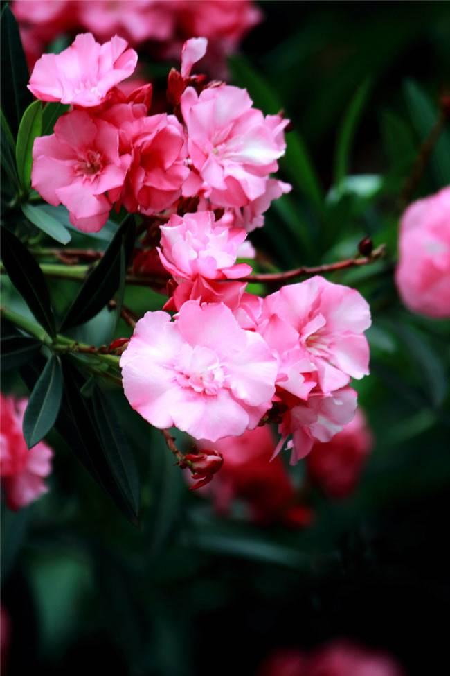粉色夹竹桃