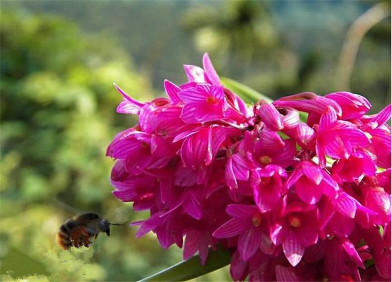 红花石斛花开成簇