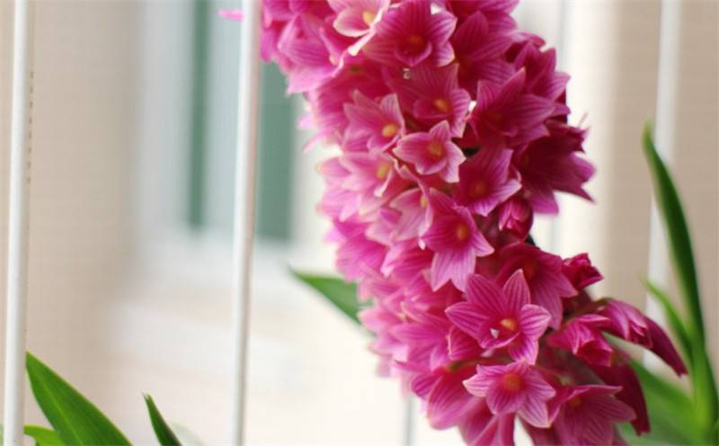 红花石斛独立成簇