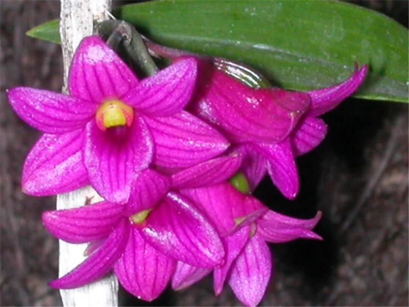 红花石斛,孤单的绽放