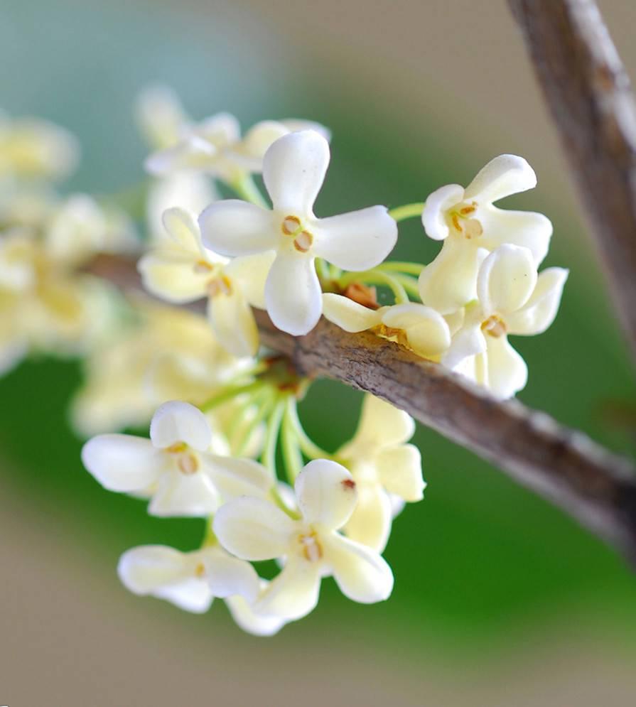 洁白如玉——白桂花