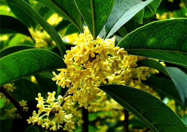 叶密千重绿,花开万点黄