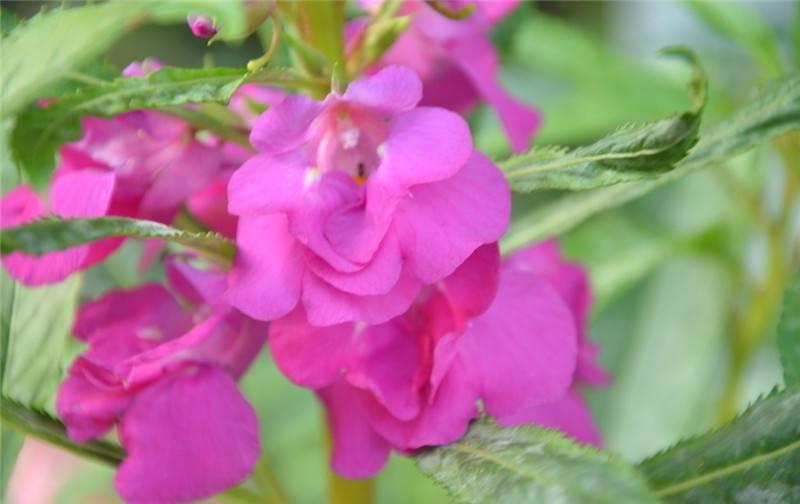 紫色凤仙花