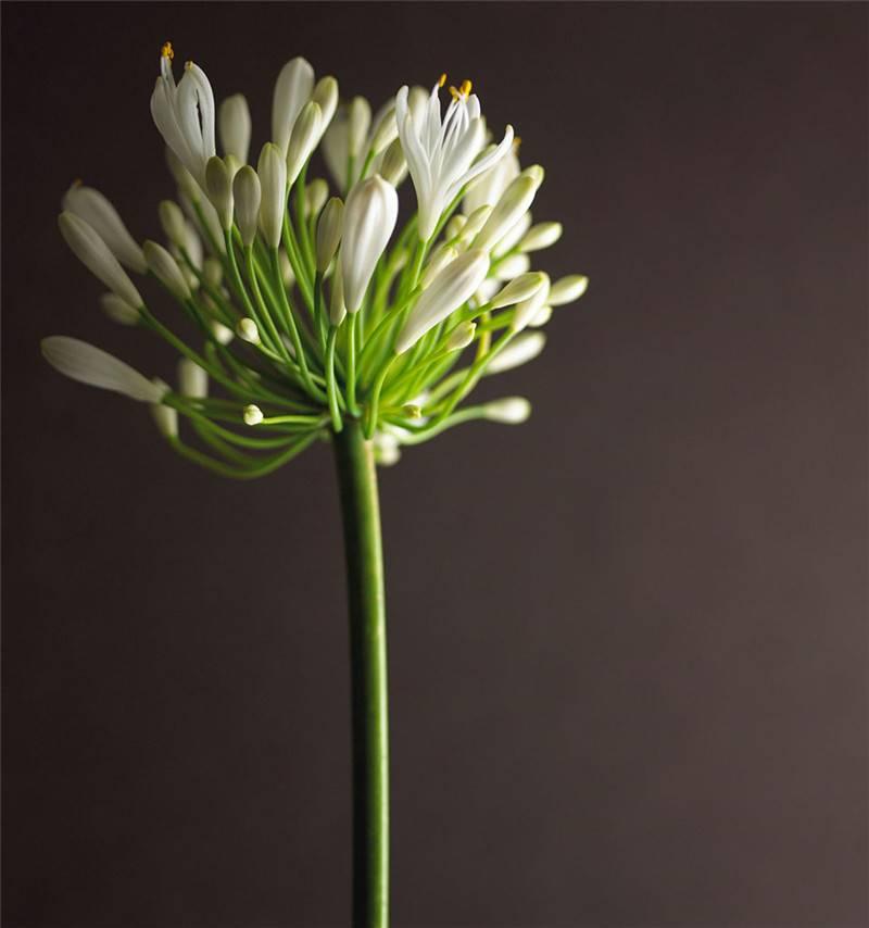 白色的百子莲