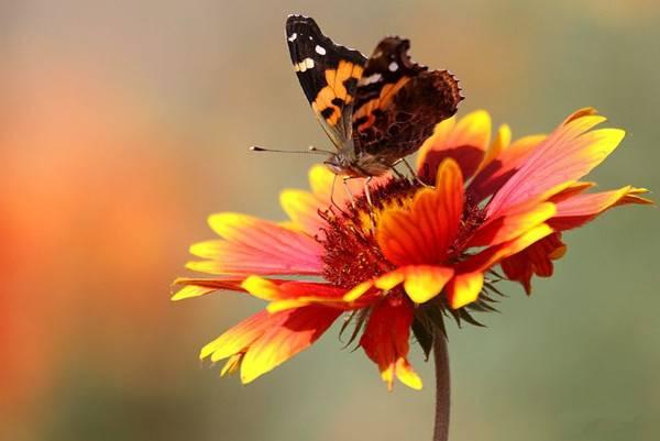 留连戏蝶时时舞——松果菊