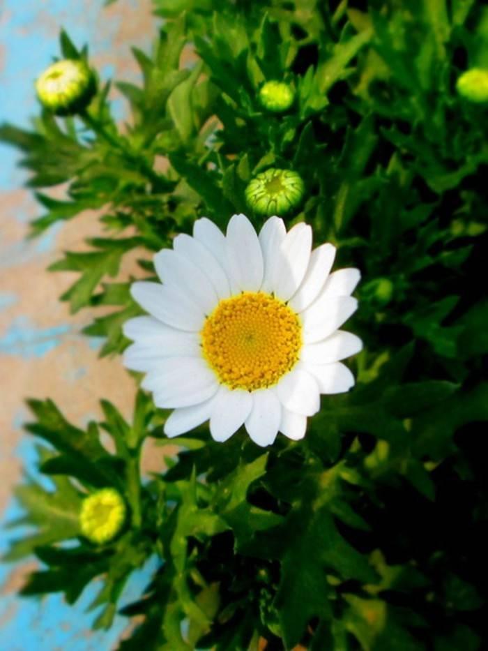 白晶菊——为爱情占卜