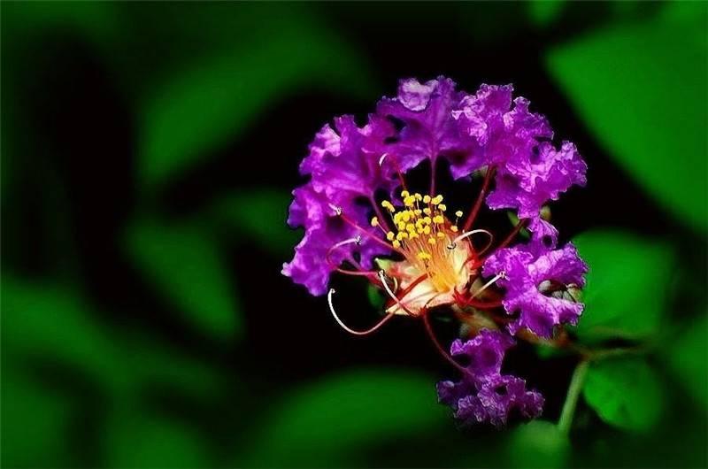 紫薇花美图