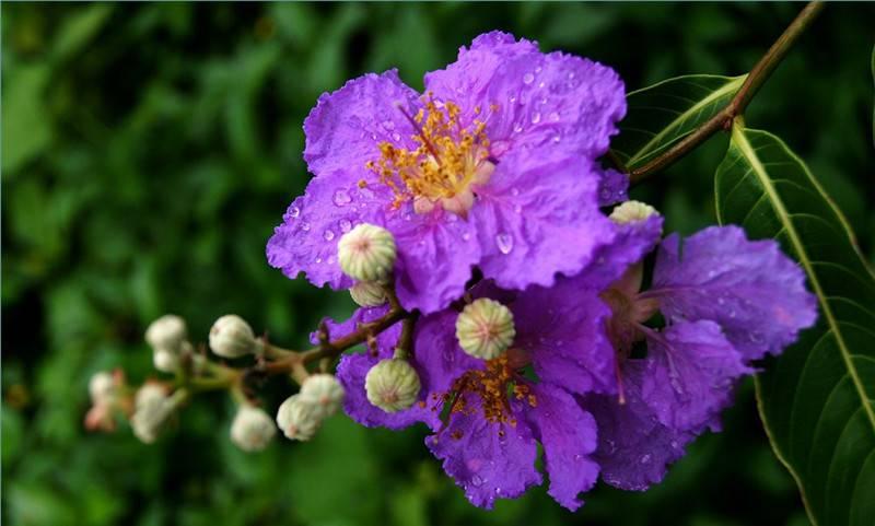 紫色薇薇——紫薇花