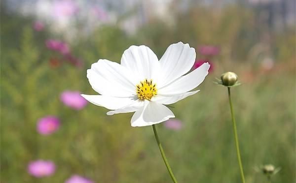 高雅纯洁的波斯菊