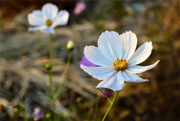 纯洁的白色波斯菊