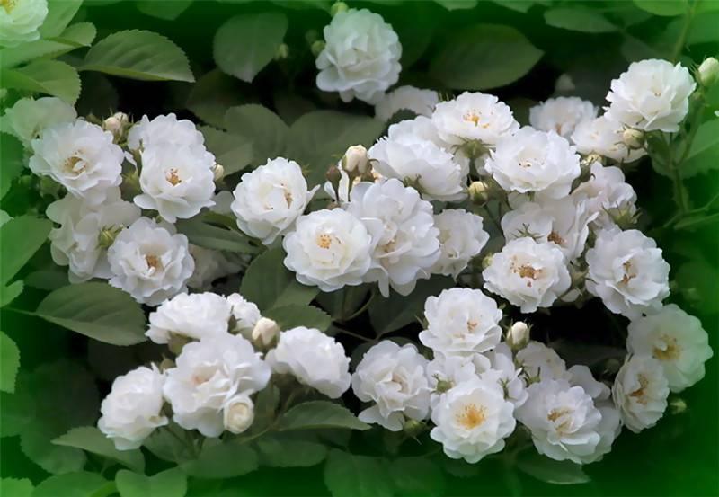 白蔷薇图片欣赏