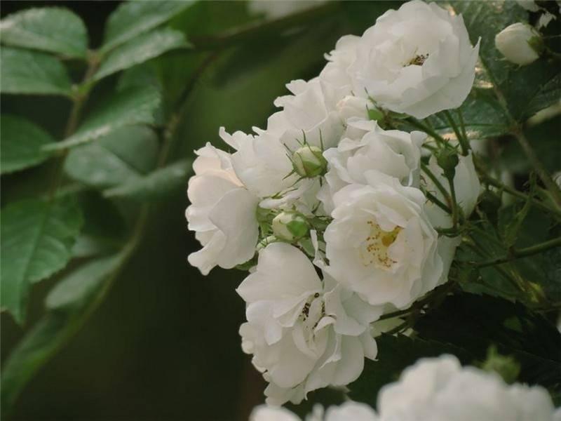 白蔷薇美图