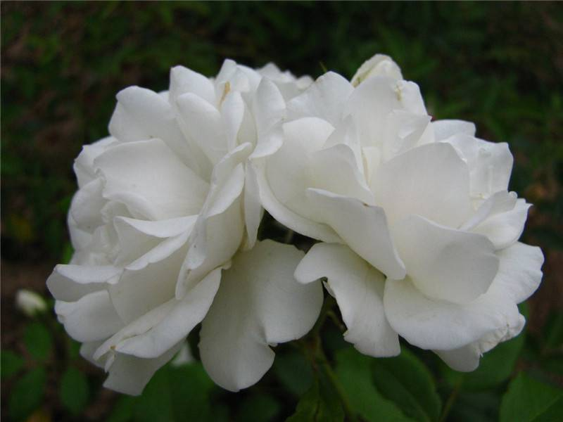 白蔷薇图片