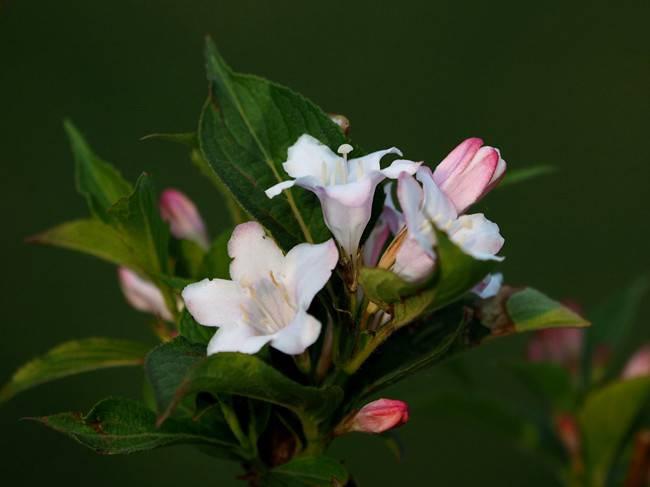 白色的锦带花