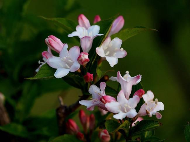 白色锦带花
